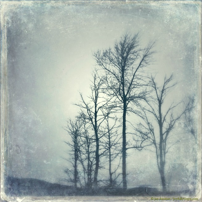 Trees in Winter Cyannotype © Joy Sussman - Joyfully Green LLC