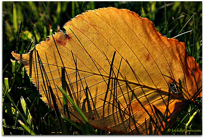 Golden Leaf © Joyfully Green