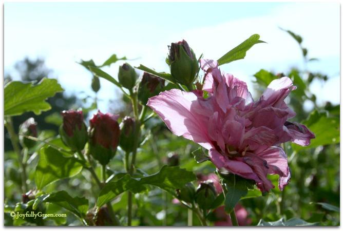 Rose of Sharon © Joyfully Green