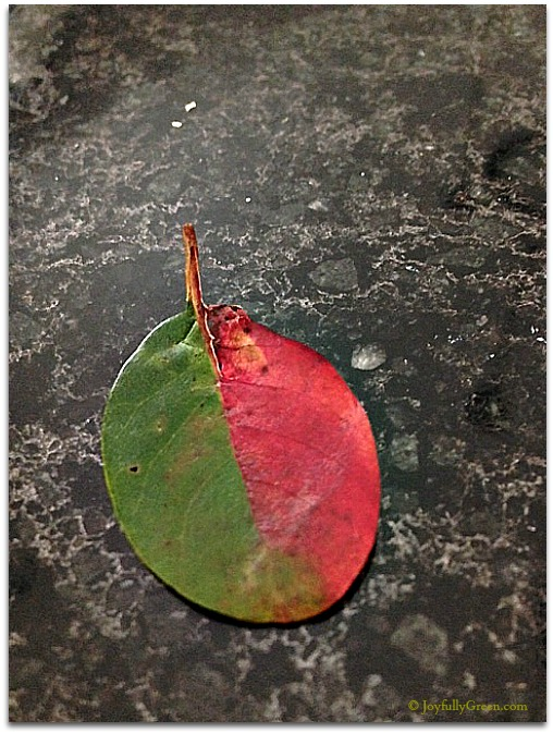 Half and Half Leaf © Joyfully Green