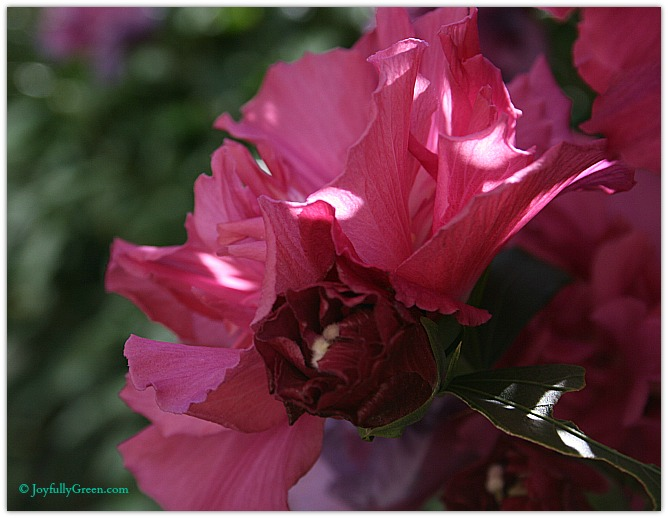 Rose of Sharon 3 © Joyfully Green