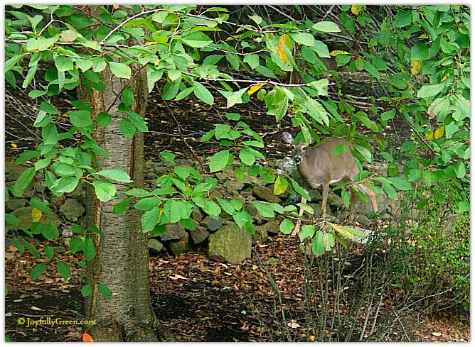 Deer Appears