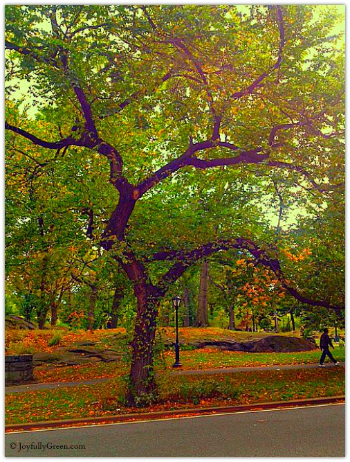 Central Park Tree 3 by Joyfully Green
