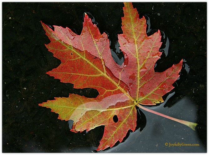 Silver Maple Leaf by Joyfully Green LLC