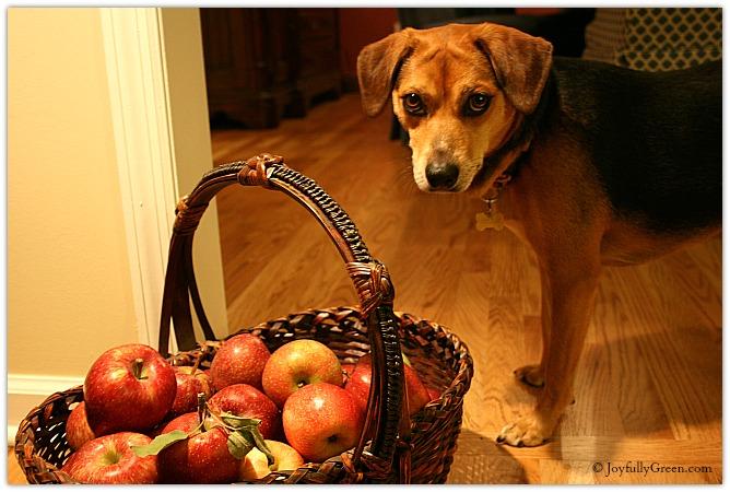 Dog and Apples by Joyfully Green LLC