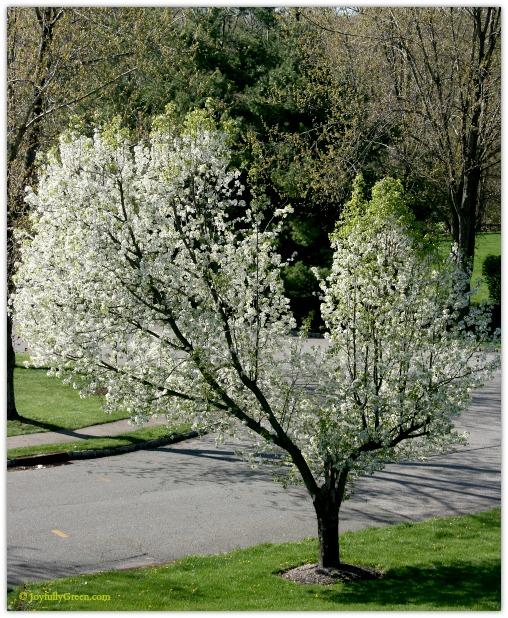 Heart Tree in Spring by Joyfully Green