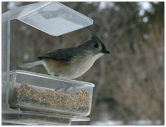 Tufted Titmouse Copyright Joyfully Green LLC
