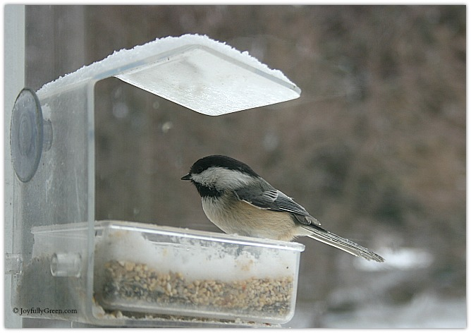 Black Capped Chickadee Copyright Joyfully Green LLC