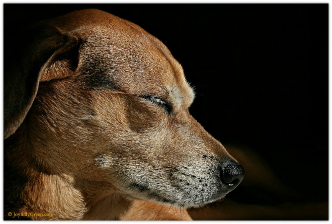 Dog in Sun 11 © Joyfully Green LLC