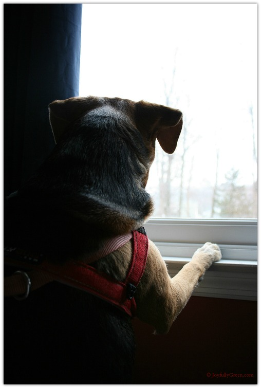 Dog at Window 2 © Joyfully Green LLC