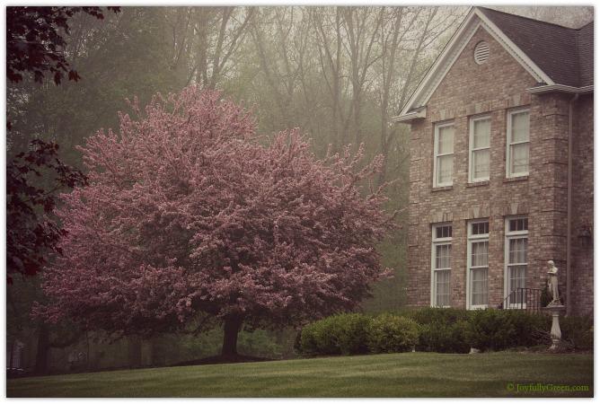 Pink Blossoms in Morning Fog © Joyfully Green LLC