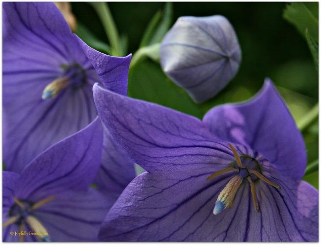 Purple Blooms 2 © Joyfully Green LLC