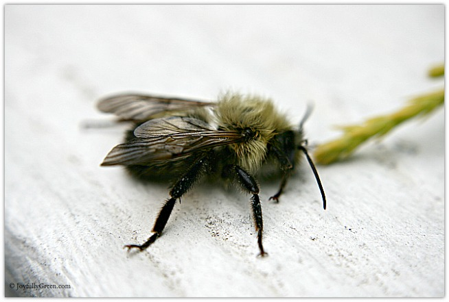 Bee © Joyfully Green LLC