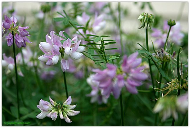 Crown Vetch © Joyfully Green LLC