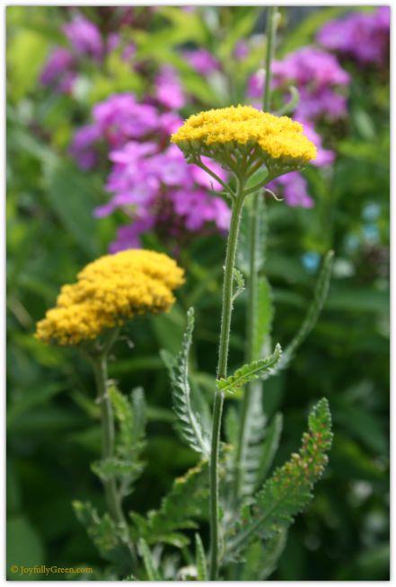 Yellow and Pink Blooms © Joyfully Green LLC
