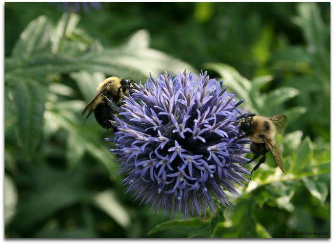 Bees on Purple Bloom © Joyfully Green LLC