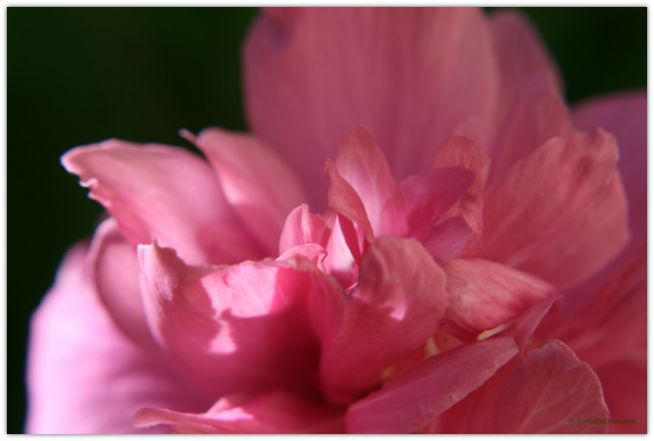 Rose of Sharon Study © Joyfully Green LLC
