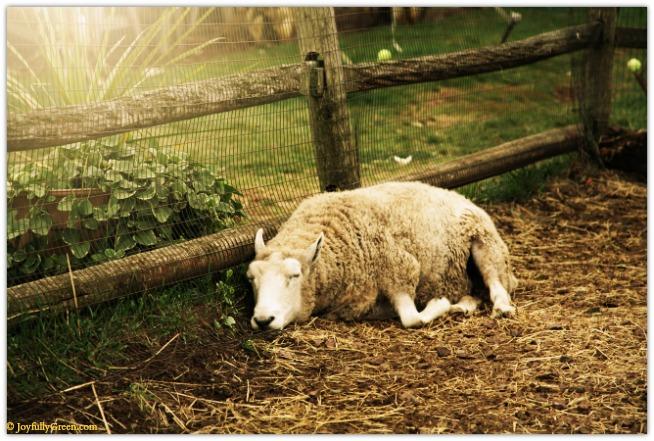Sheep Asleep © Joyfully Green LLC