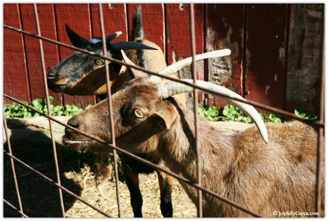 Catskills Goats 3825 © Joyfully Green LLC