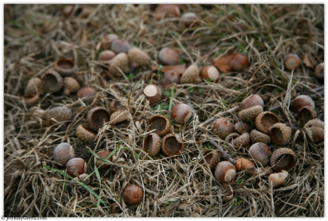 Acorns IMG_4854 © Joyfully Green LLC