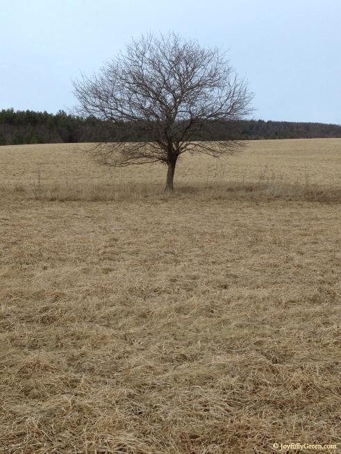 Vermont Tree IMG_0385 © Joy Sussman Joyfully Green LLC
