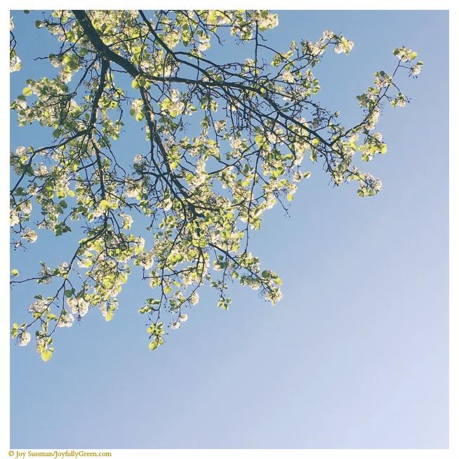 Blossoming Branches © Joy Sussman Joyfully Green LLC