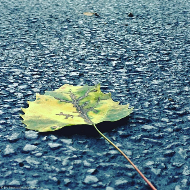 Leaf in August © Joy Sussman Joyfully Green LLC