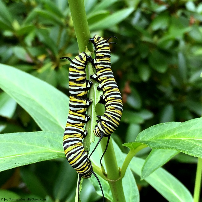 Maine Monarch Caterpillars © Joy Sussman Joyfully Green LLC