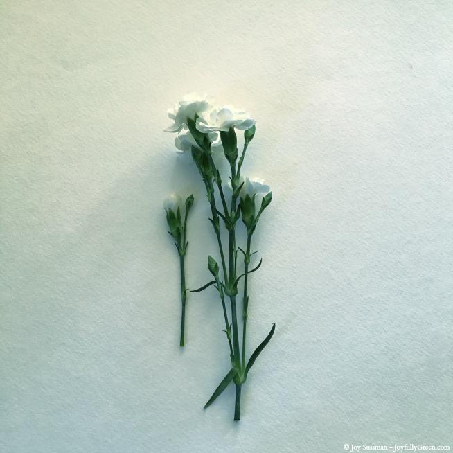White Carnations © Joy Sussman - Joyfully Green LLC