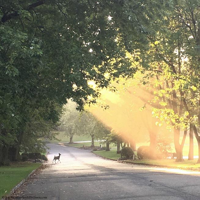 Fawn in Morning Light © Joy Sussman - Joyfully Green LLC