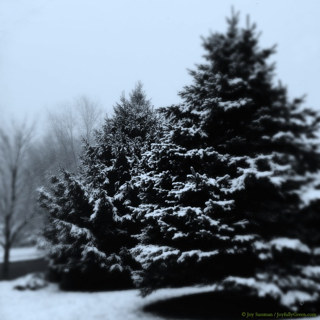 Snow on Evergreens © Joy Sussman - Joyfully Green LLC