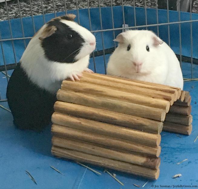 Guinea Pigs © Joy Sussman - Joyfully Green LLC