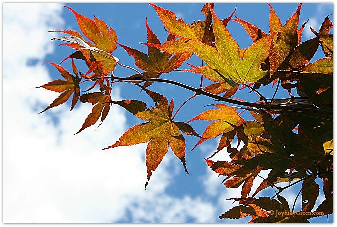 Japanese Maple © Joyfully Green
