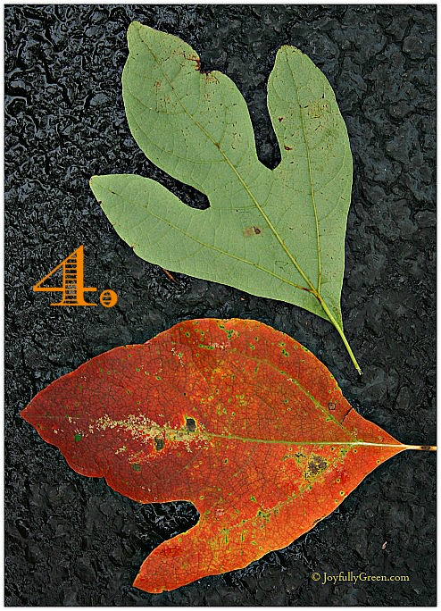 Leaf Sample 4