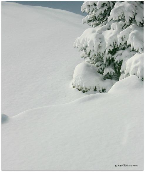 Snow Pine by Joyfully Green