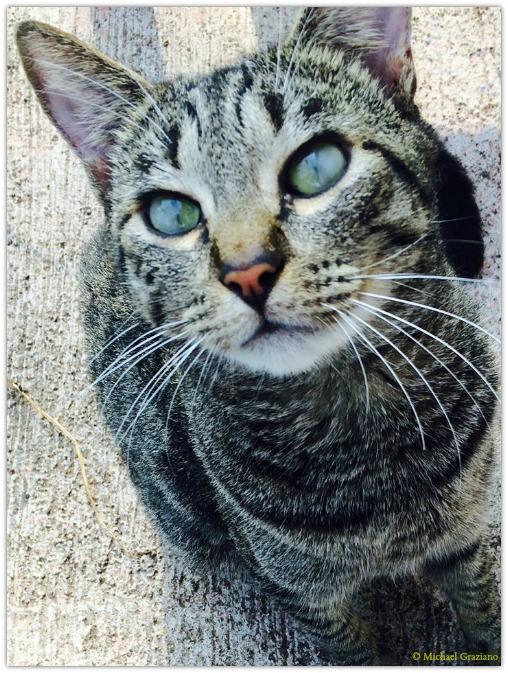 Copyright Michael Graziano Hawaiian Cat2