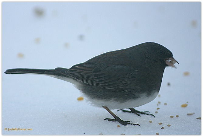 Dark-Eyed Junco 2 Copyright Joyfully Green LLC