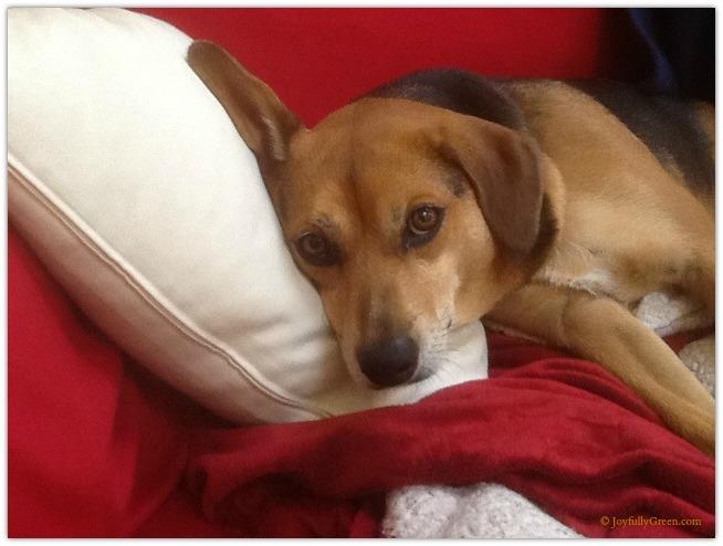 Dog on couch © Joyfully Green LLC