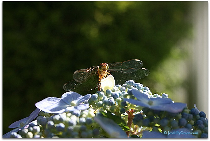 Dragonfly © Joyfully Green