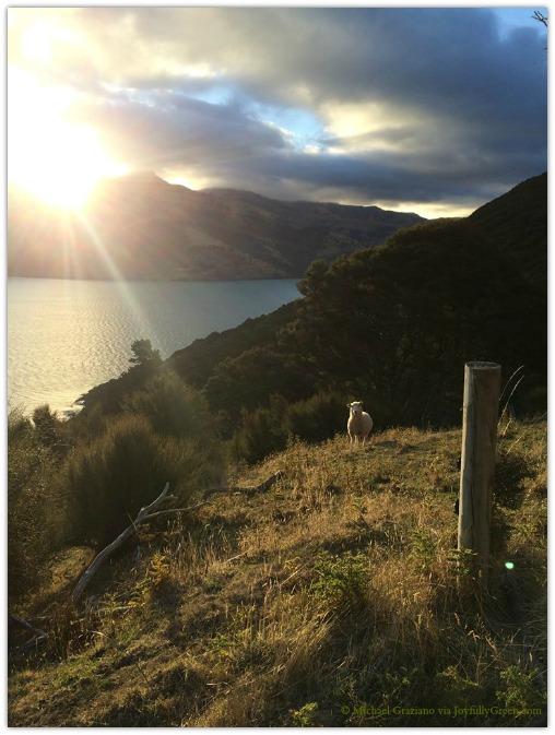 © Michael Graziano-New Zealand Sheep 2