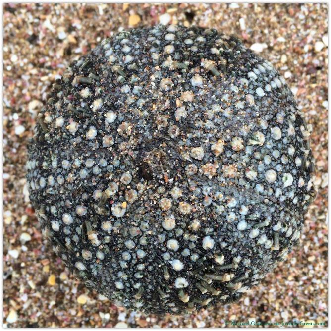 © Michael Graziano-New Zealand Sea Urchin