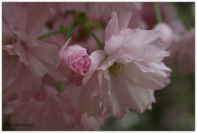 Soft Blossoms 3 © Joyfully Green LLC