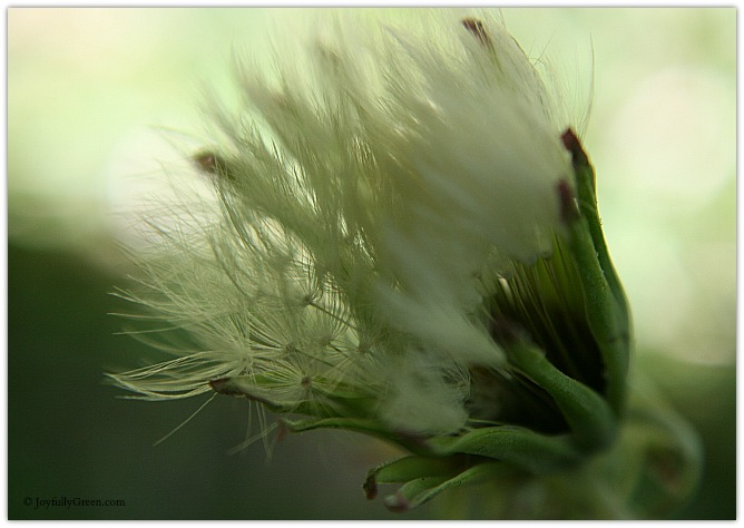 Furry Dandelion © Joyfully Green LLC