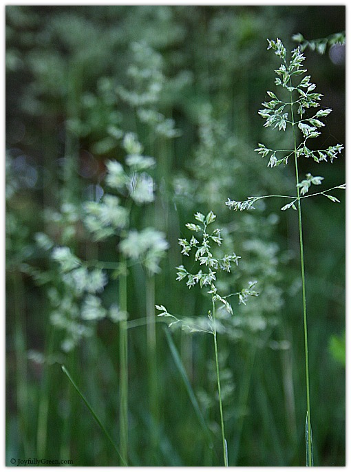 Tall Grass © Joyfully Green LLC