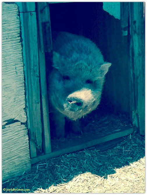 Hog 3 © Joyfully Green LLC