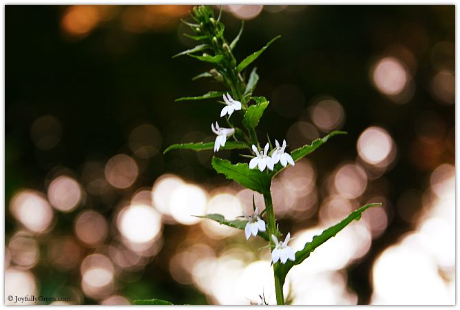 White Wildflowers © Joyfully Green LLC
