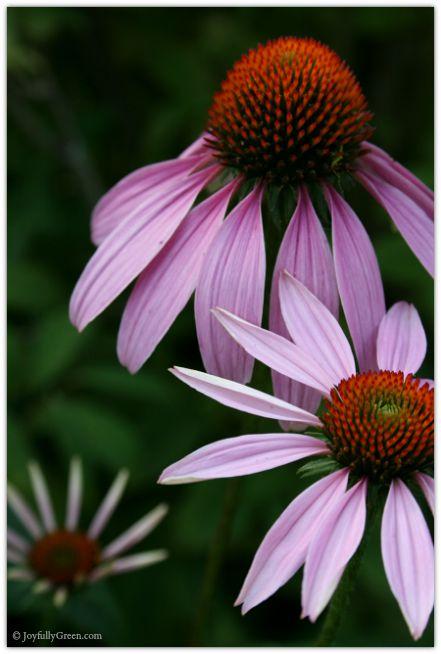 Pink Blooms © Joyfully Green LLC