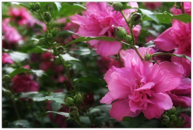 Rose of Sharon in Full Bloom © Joyfully Green LLC