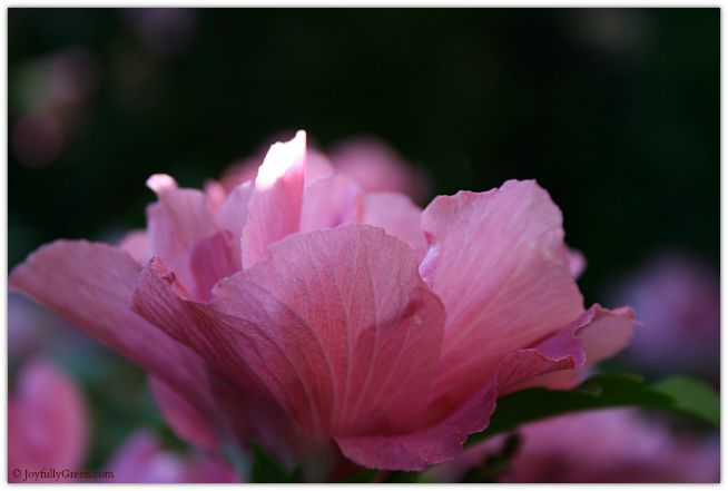 Rose of Sharon Soft © Joyfully Green LLC
