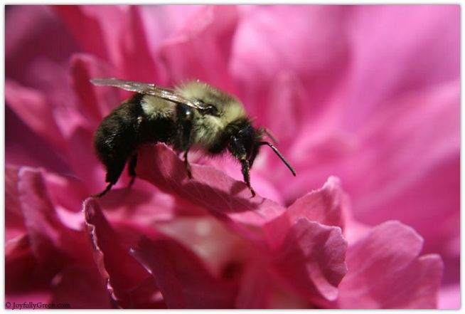 Bee in Rose of Sharon 2 © Joyfully Green LLC